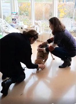 Beagle Freek bij dierenarts Kattenbroek in Amersfoort